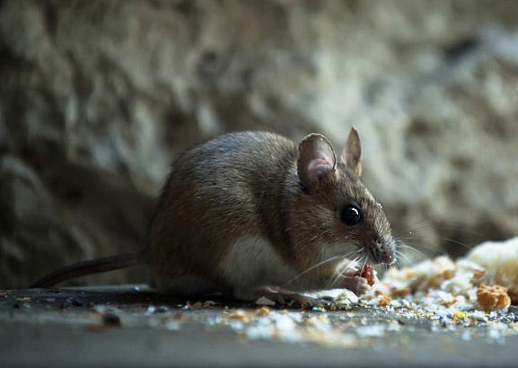 老鼠管理培训教程(二):老鼠的检查